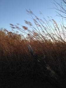 Phragmites stand in Duck, NC