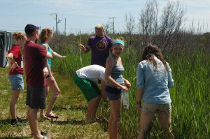 Students in Ashland University's Marine Biology course collecting Phragmites samples in Nags Head, NC